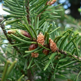 Fir tree syrup recipe and benefits for you