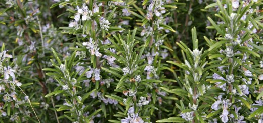 Mosquitoes repellent plants for home