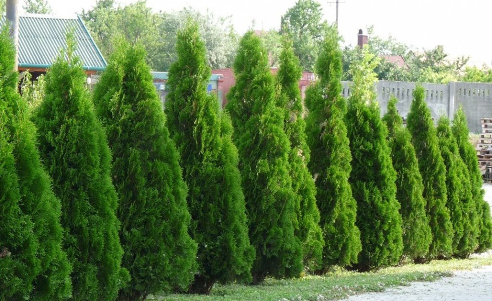 Thuja smaragd growth rate - Practical tips for gardening in june ...