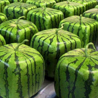 Square watermelon in Japan