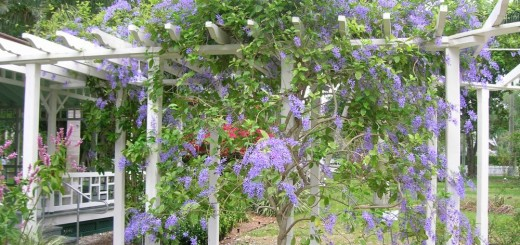 Pergola climbing plants in the garden