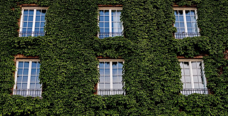 How fast does ivy grow in the garden