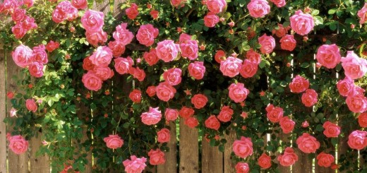 Climbing plants that produce fragrant flowers in the garden