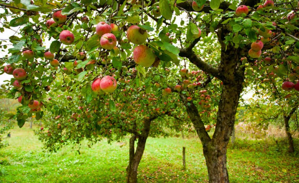 Planting fruit trees in the fall is healthy