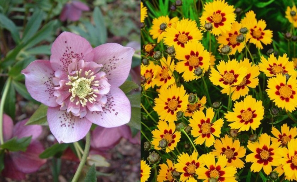tough perennial bloomers drought insect and pest resistant flowers