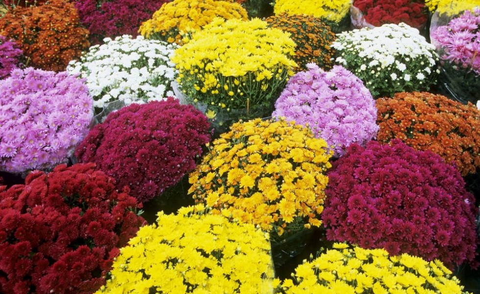 How do mums reproduce small guide to growing fall 39 s best flowers - Fall landscaping ideas a mosaic of colors shapes and scents ...