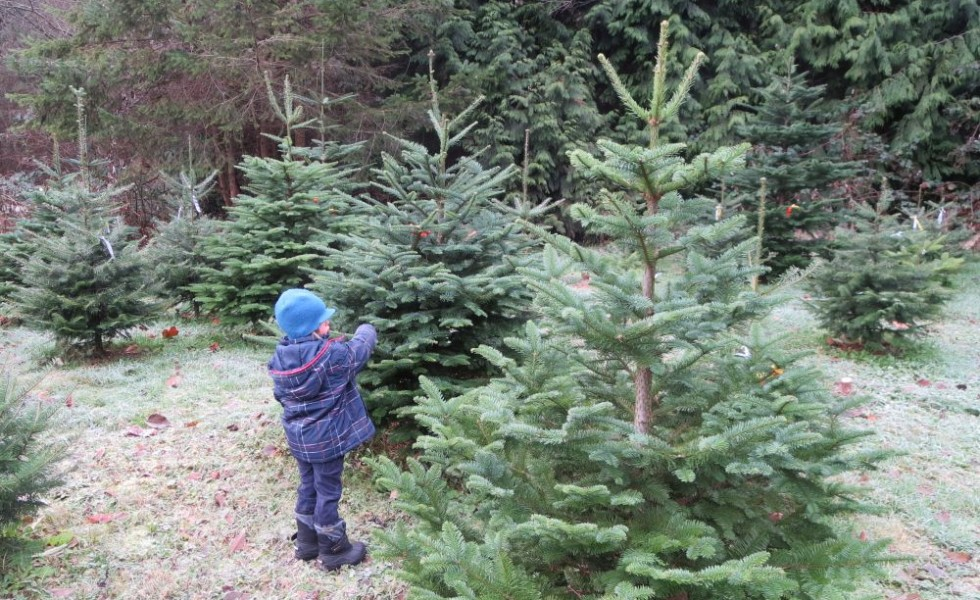 Fir tree planting instructions at home