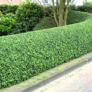How to grow privet hedges in the garden
