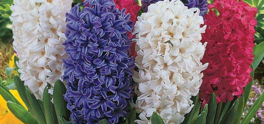 Planting hyacinths indoors at home