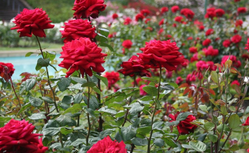 When to plant roses in the garden