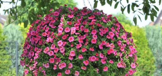 How to care for Impatiens at home