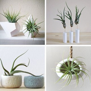 How to display air plants archives houz buzz - How fast does ivy grow practical tips for the green curtain ...