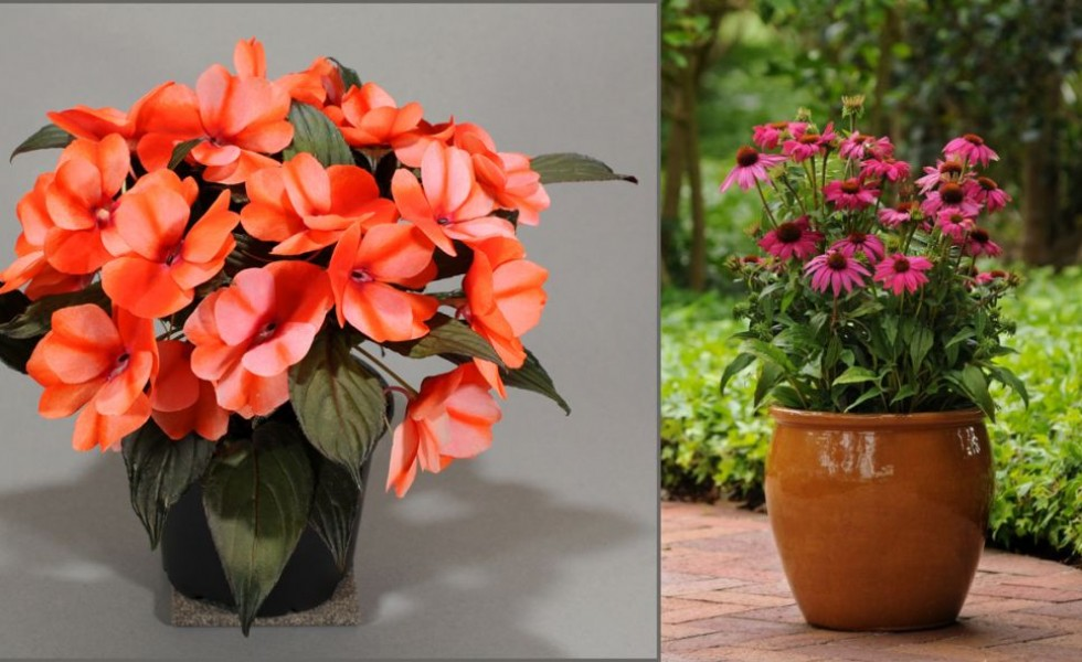 5 potted autumn flowers chromatic show on your balcony houz buzz - Potted autumn flowers ...