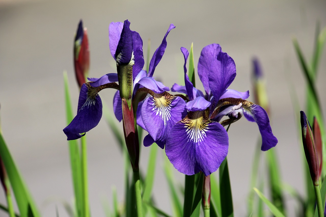 flowers to plant in the fall irises