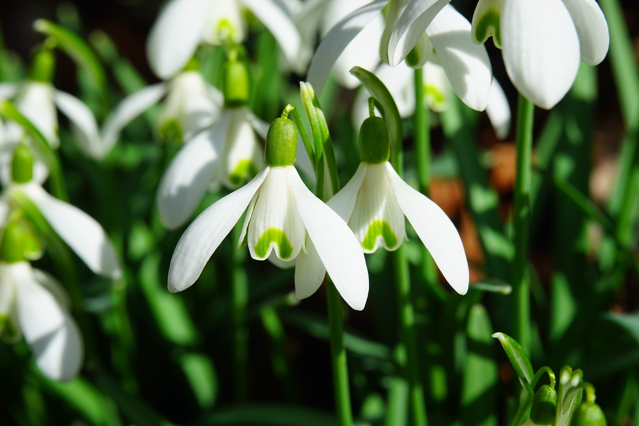 flowers to plant in the fall snowdrops