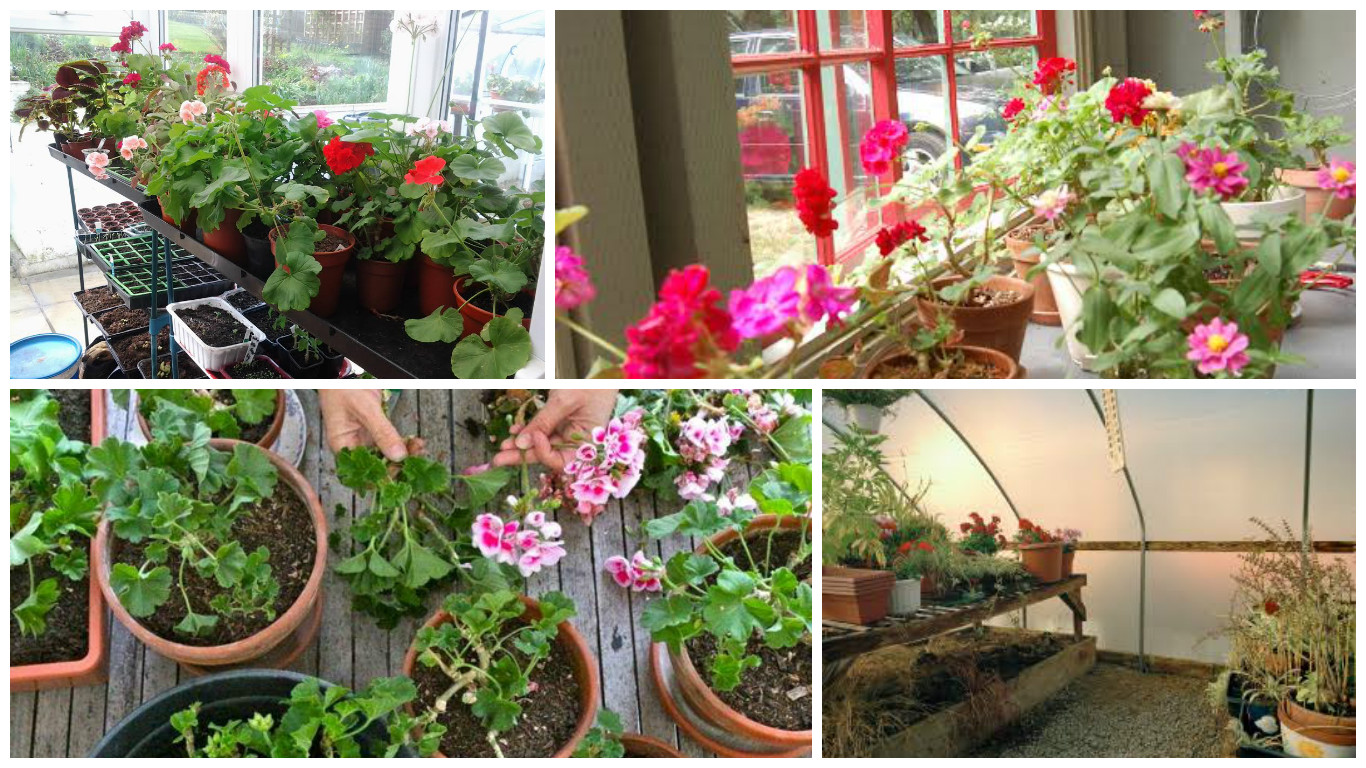 Overwintering geraniums 4 tips to keep them green and growing - Overwintering geraniums tips ...