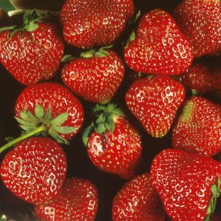 ever bearing strawberry varieties