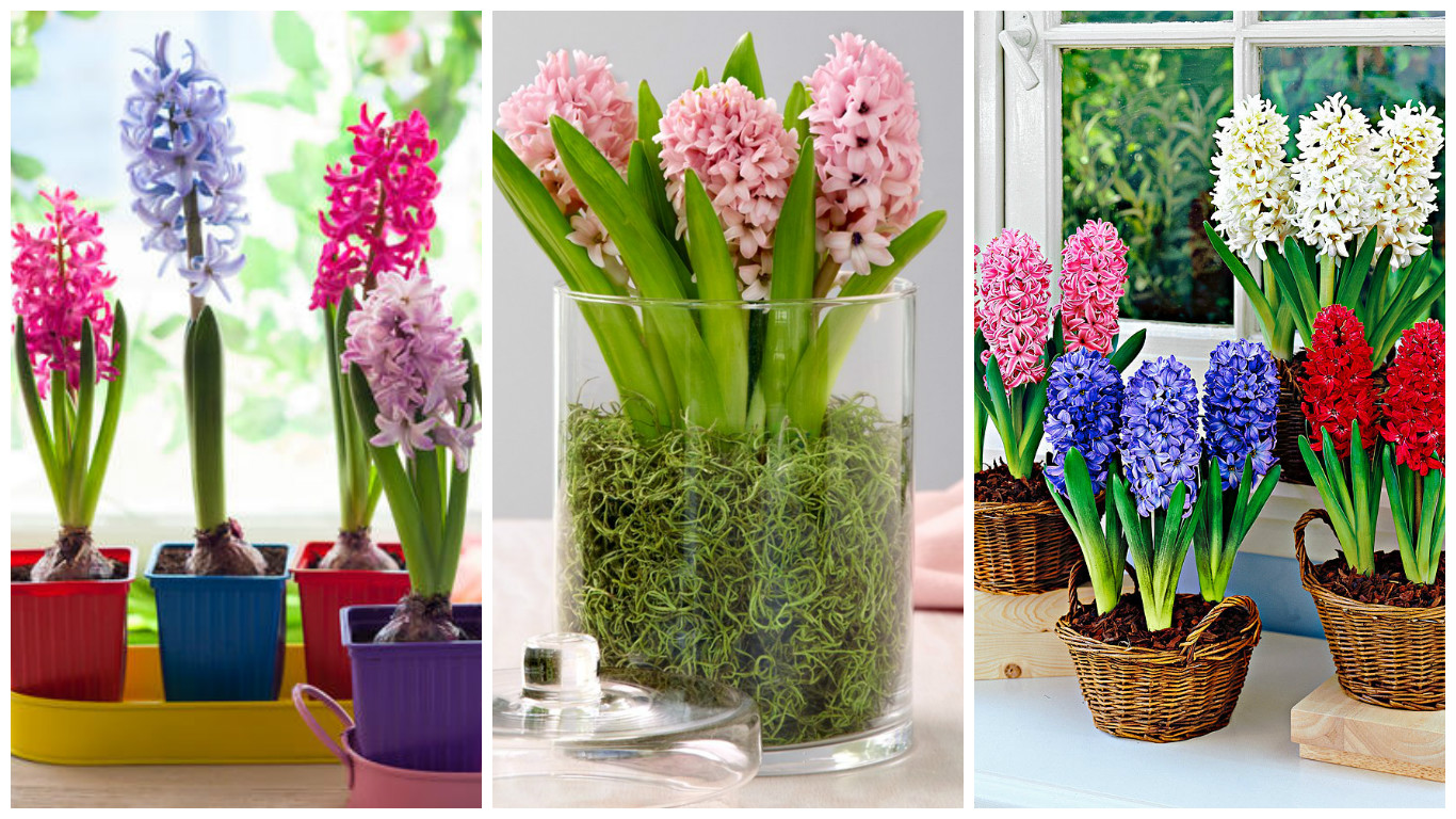 Planting hyacinths in pots how to choose the right bulbs and care for the plants - Planting hyacinths pots ...