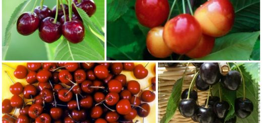 Romanian cherry tree varieties