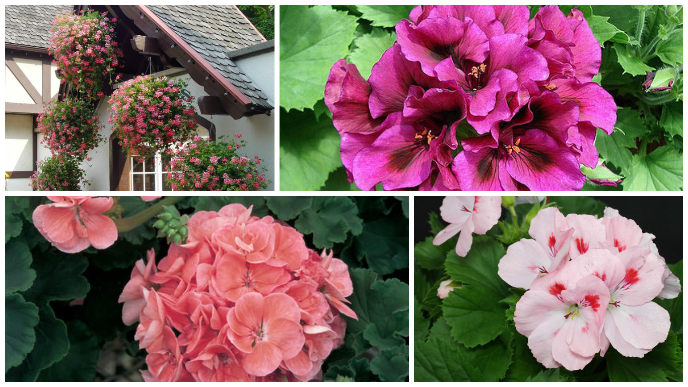 Different types of pelargoniums the best varieties for your garden or balcony - Different types pelargoniums ...