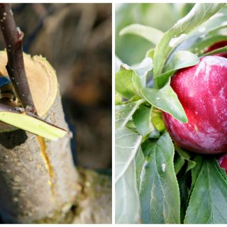 how to graft a plum tree