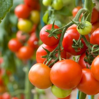 how to plant tomatoes in the garden