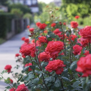 planting a rose shrub step by step