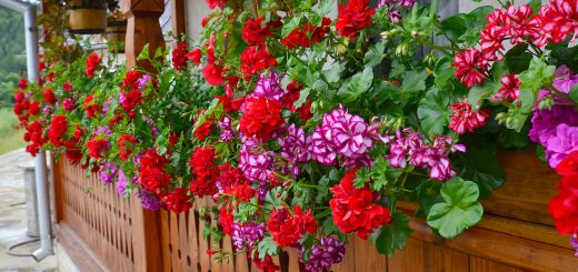 how to care for geraniums