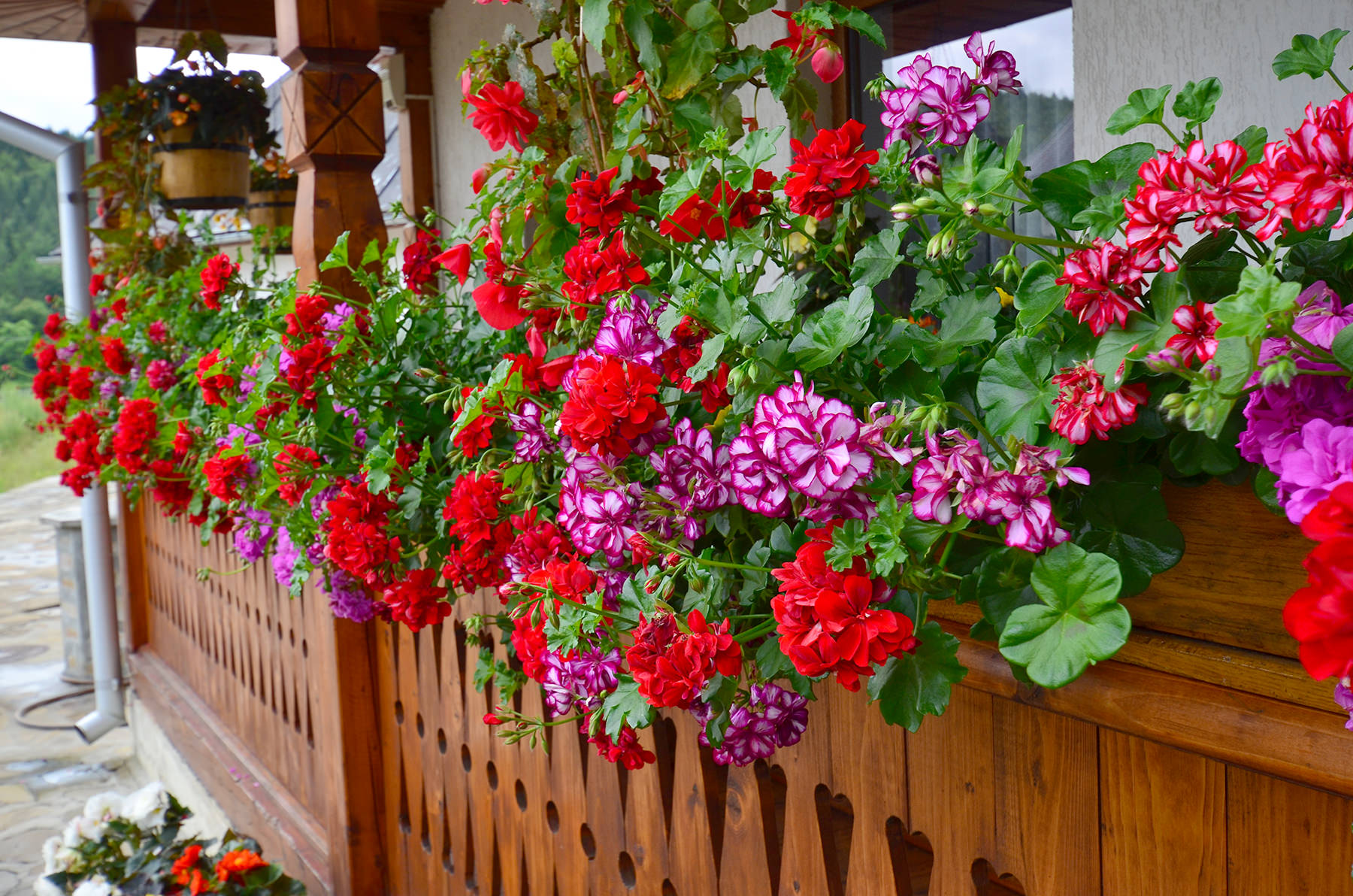 How to care for geraniums to have them flourishing on your balcony or porch - Care geraniums flourishing balcony porch ...
