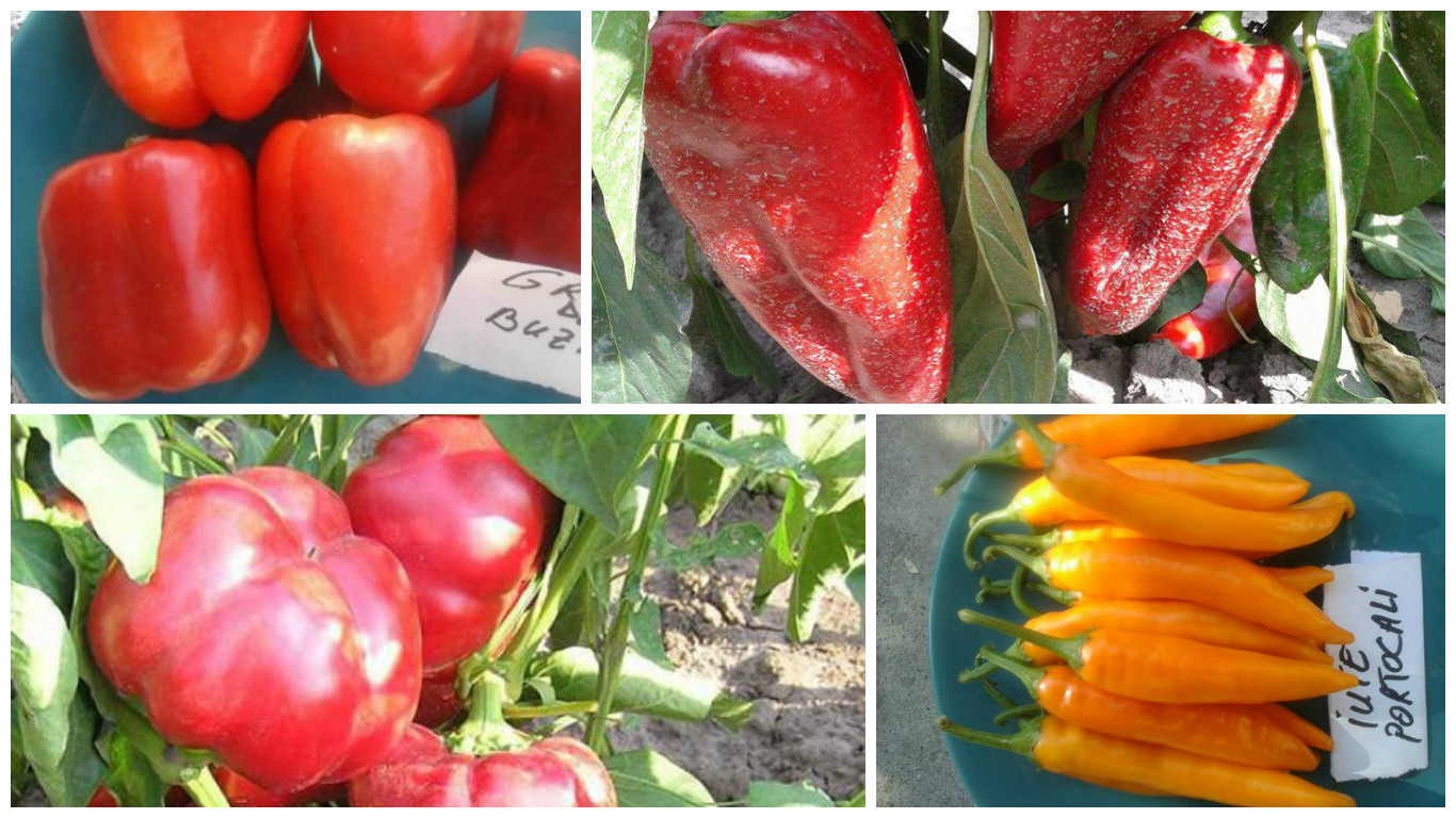 The best romanian pepper cultivars for the main types - Best romanian pepper cultivars ...