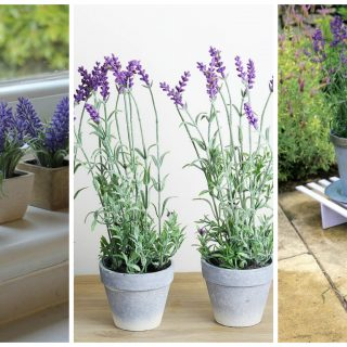 growing lavender in pot