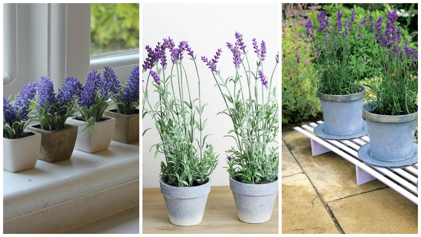 Growing lavender in pot for its exotic aspect and not only - Growing lavender pot ...