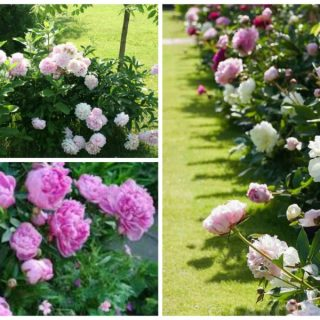 growing peonies in the garden