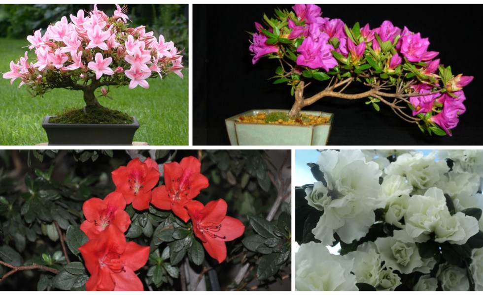 How to care for azaleas and keep them for years - Care azaleas keep years ...