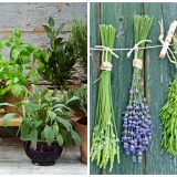 aromatic herbs in pots
