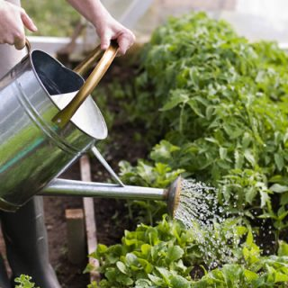 Watering The Vegetable Garden. What Are Each Plantu0027s Needs?