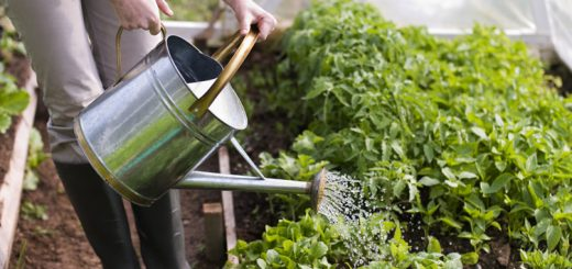 watering the vegetable garden