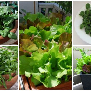 Salads you can grow in pots archives houz buzz - Salads can grow pots eat fresh ...