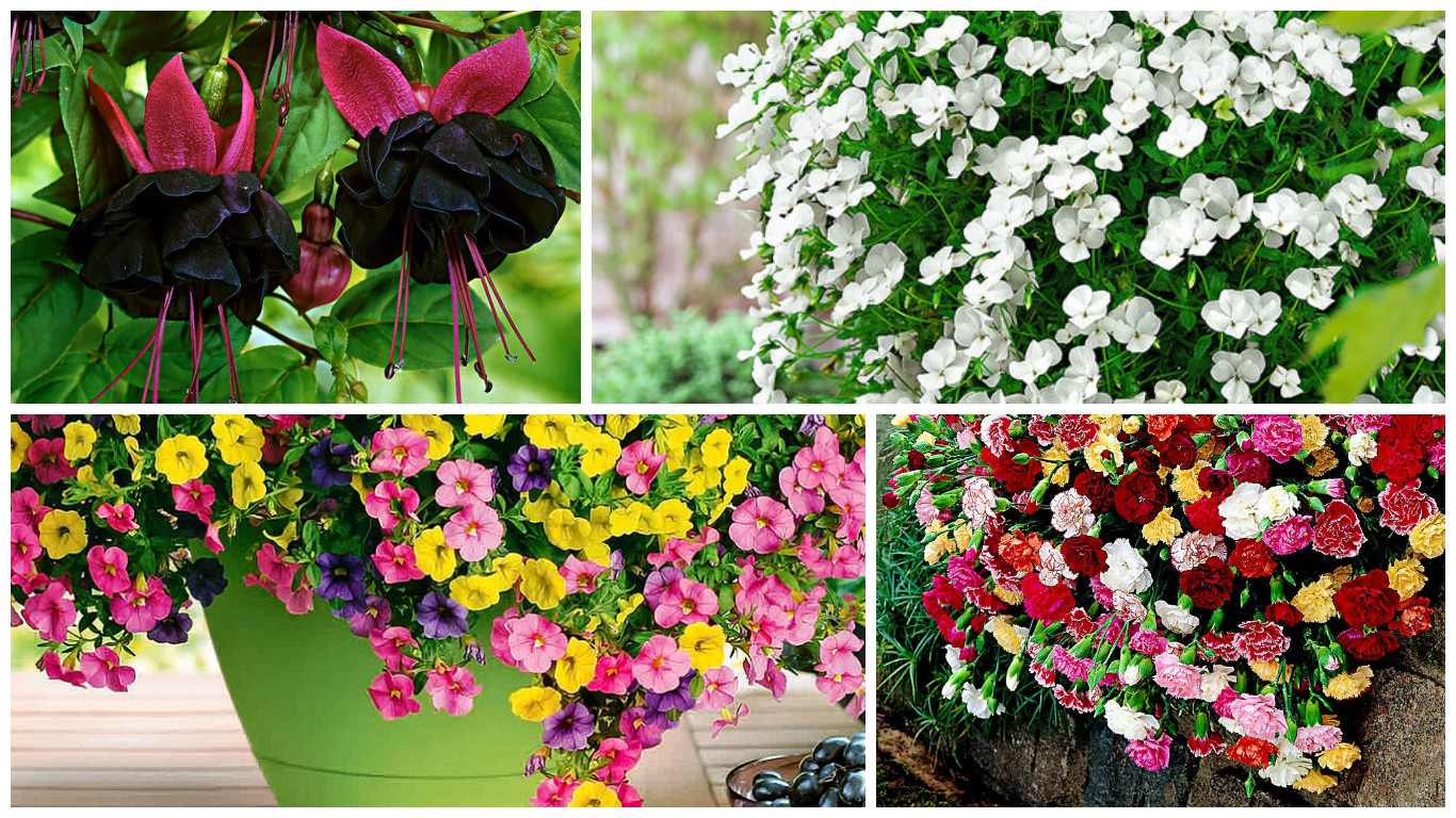 flowers for hanging baskets to embellish porches and balconies