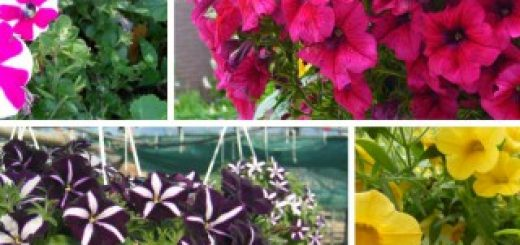 growing petunias in pots