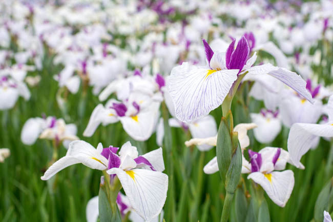 iris species and how to care for them