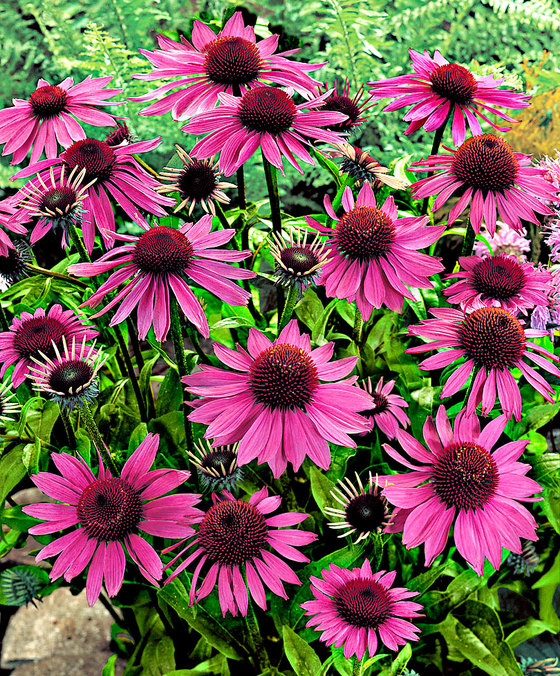 perennials with the most beautiful flowers