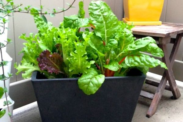 salads you can grow in pots