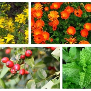 medicinal herbs to harvest in August