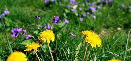 A few unknown facts about dandelion in nature