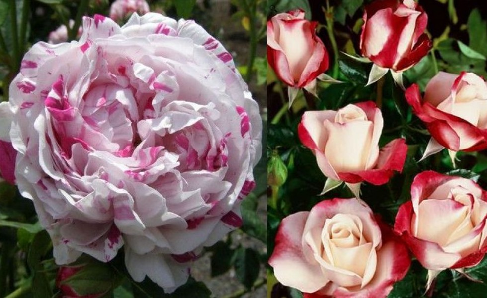 Unusual color roses in the garden
