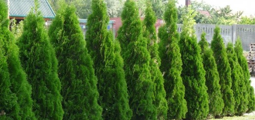 Thuja smaragd growth rate in the garden
