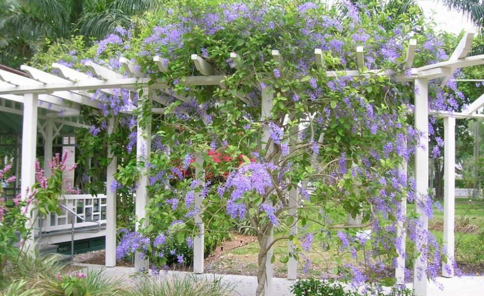 Pergola climbing plants in the garden - Pergola Climbing Plants - Nature's Roof