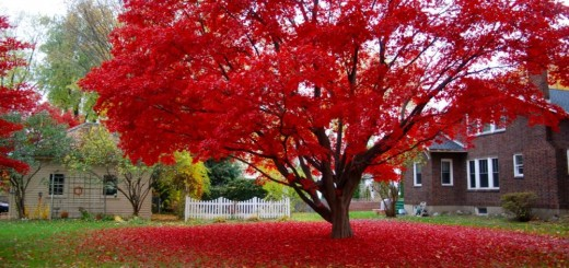 Decorative trees with red leaves in the garden