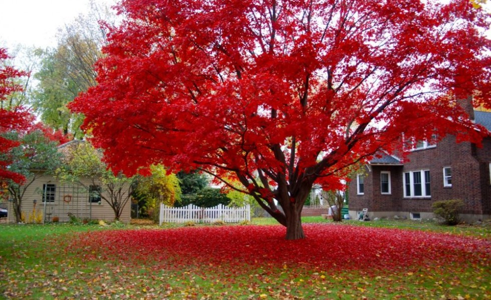 Decorative Trees With Red Leaves